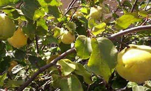 Membrillo y sus cualidades medicinales - Arbol de membrillo ...