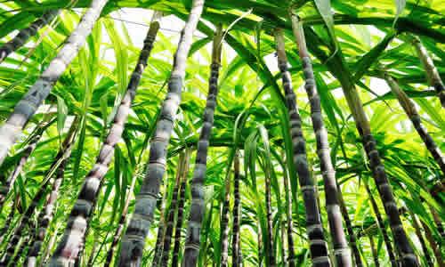 Planta romero y sus propiedades terapeuticas for Arbol comun