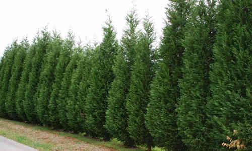 Arbol cipr s y sus caracteristicas for Arboles altos para jardin