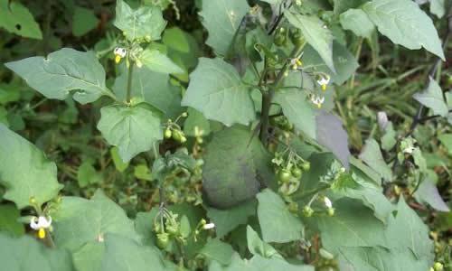 Hierba mora como planta medicinal for Manzanilla planta medicinal para que sirve